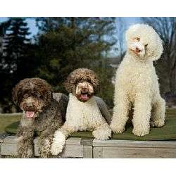 What Is The Price Of A Lagotto Romagnolo Dog Uk