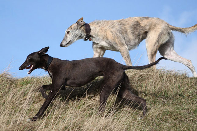Whippet Information - Dog Breeds at thepetowners